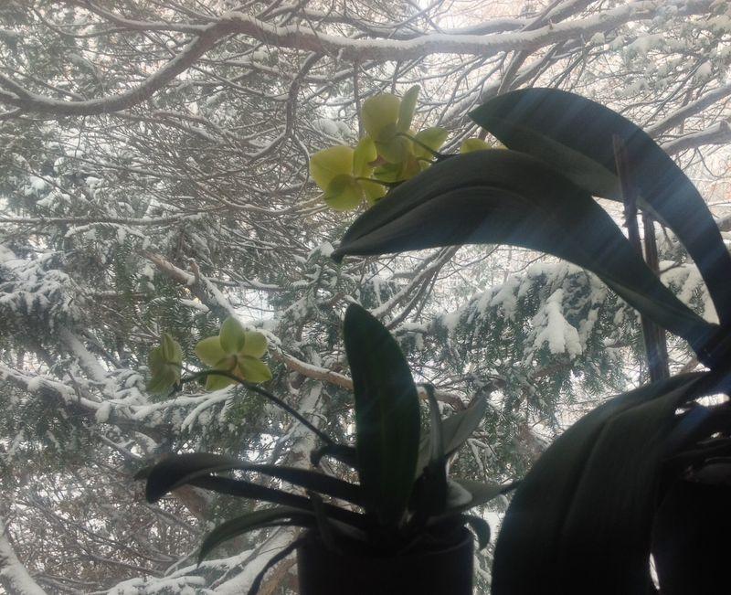 Snoworchids