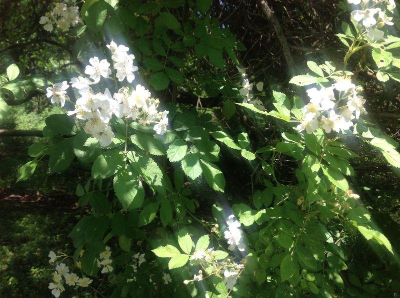 Multiflorarose