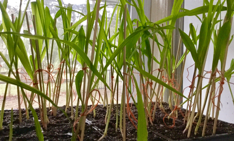 Cornseedlings