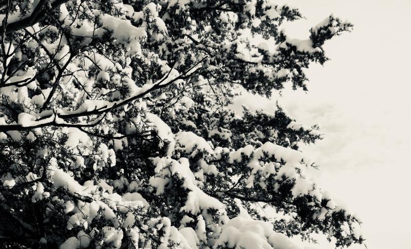 Snowbranches